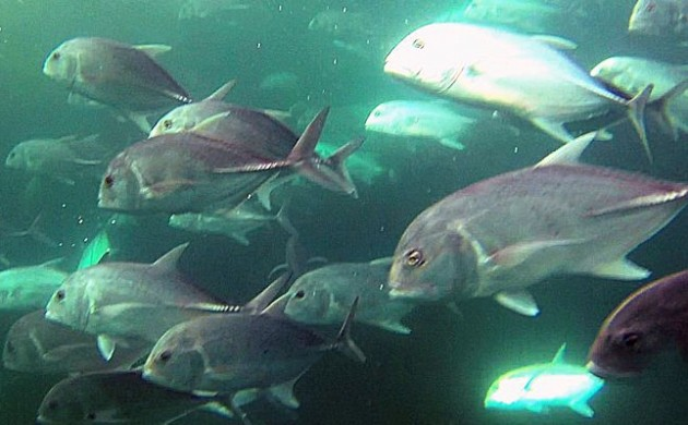 Giant Trevally in the Seaway – The Ultimate Guide