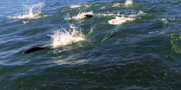 Targeting Surface Feeding Fish in the Seaway and Broadwater